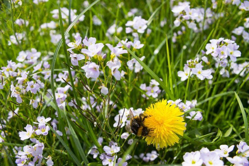 Aardhommel-oppaardebloen-in-een-veld-pinksterbloemen-kl